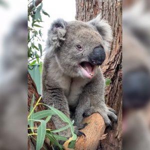 Ядосана коала? Чуйте как ръмжи разгневеното животинче
